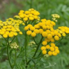 About Tanacetum Vulgare Extract