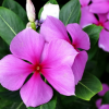 Madagascar Periwinkle Herb Extract