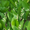 Pyrola Herb Extract