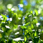 Common Dayflower Herb Extract