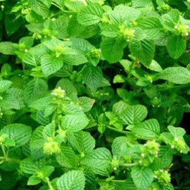 Herba Clinopodii Extract