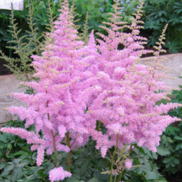 Astilbe Chinensis Extract