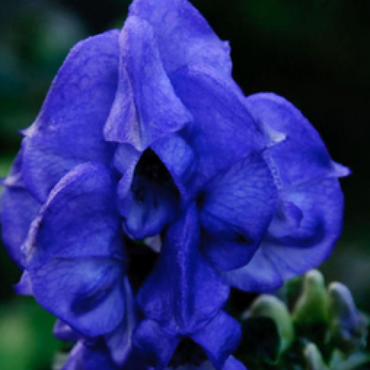 Monkshood Extract