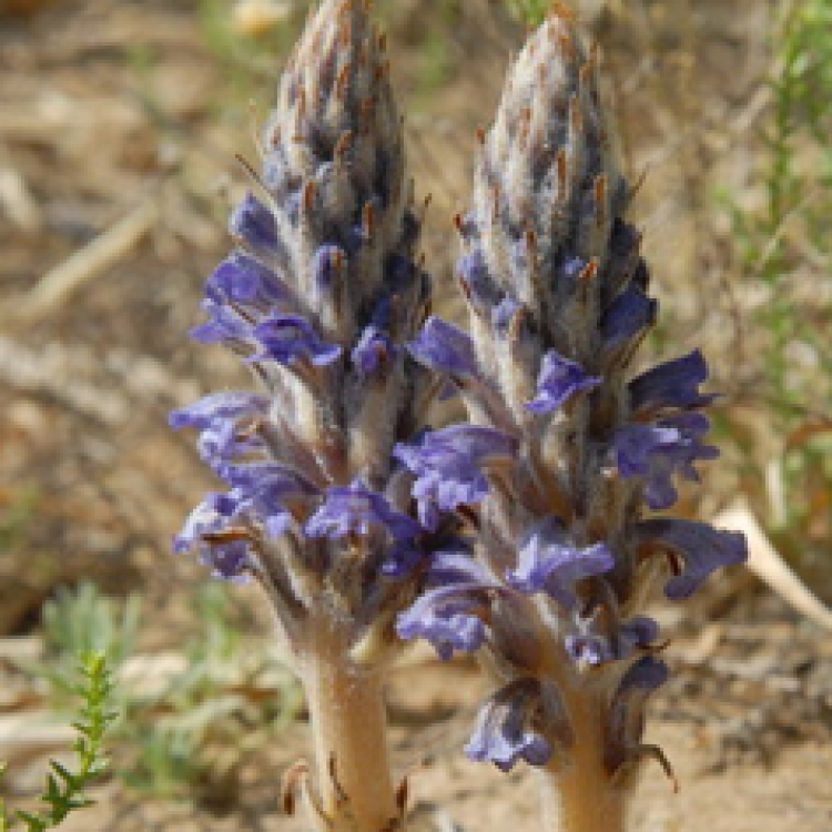 Skyblue Broomrape Herb Extract